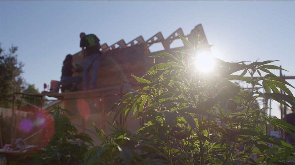 sun flare coming through a hemp plant with a house build in background